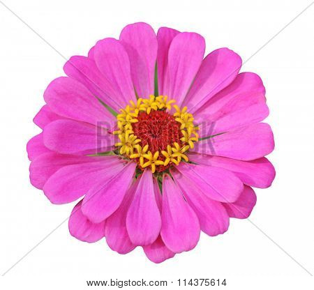 Single fresh pink zinnia flower head isolated on white background