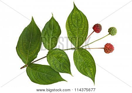 Cornus Kousa Dogwood Fruit and Leaf isolated on white background