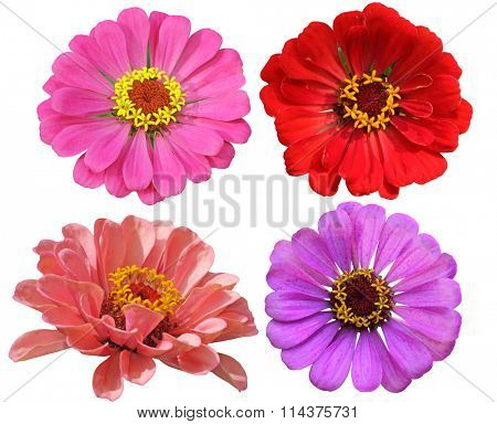 Set of Zinnias Flower Heads isolated on white background
