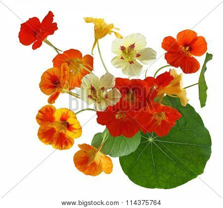 Colorful of nasturtium flower bouquet isolated on white background