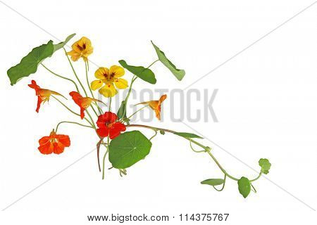 Nasturtium Flower in orange and yellow color isolated on white background