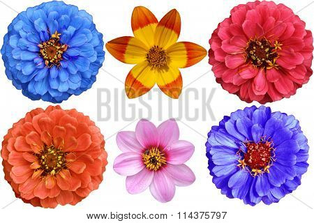 Set of Dahlia, Zinnias flower heads isolated on white background