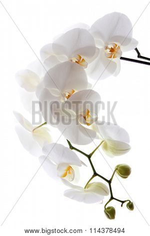 White orchid on white blackbackground