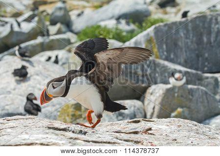 Atlantic Puffin Taking Flight