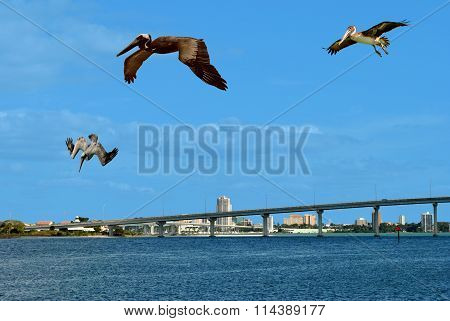 Brown pelicans flying over Sand Key in Florida