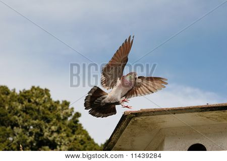 Brown pigeon coming in to land