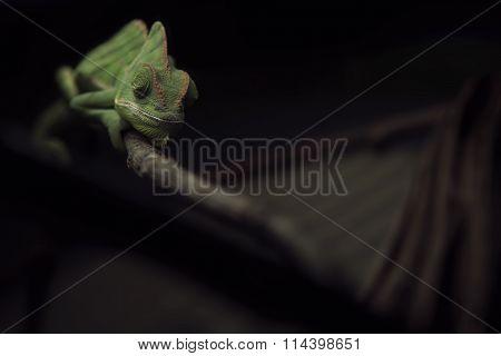 Veiled Chameleon Sleeping