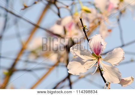 Bauhinia Variegata Flower