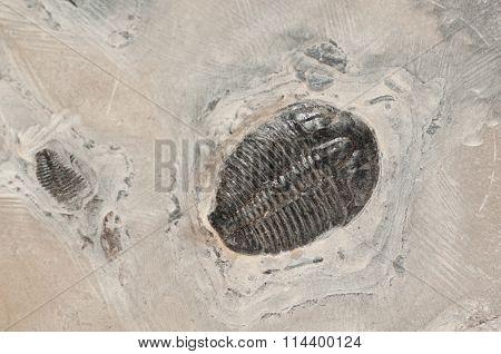 Trilobites In Stone