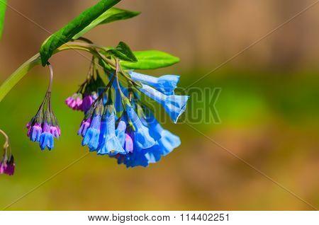 Cluster Of Bluebells