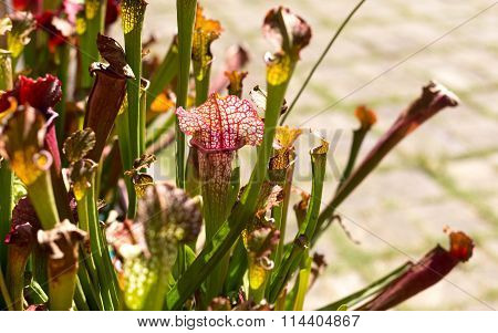 Nepenthes Lined  Flowers Pattern