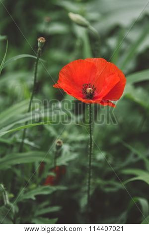 Perfect Poppie Flower