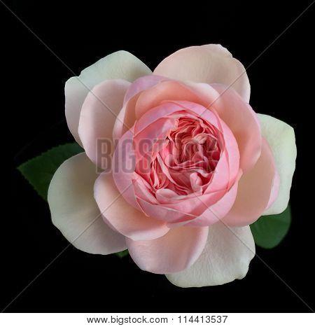 English rose,aphrodite rose