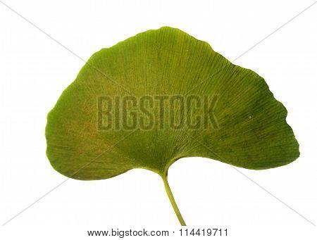 Leaf Ginkgo Biloba