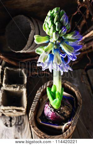 Spring Blooming Hyacinth