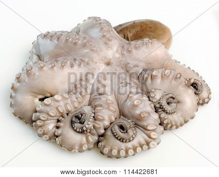 Octopus isolated on a white background (seafood, octopus, raw)