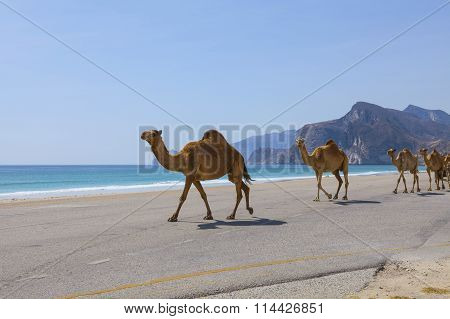 Camels in road