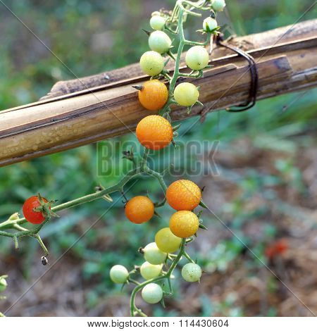 Grape Or Cherry Tomatoes Hanging On Tree