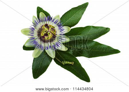 Passiflora or Passion Flower Isolated on White