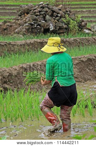 woman harvest the paddy field