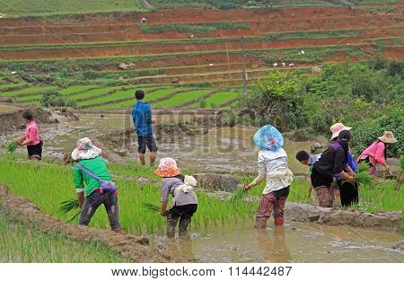 people are harvesting the paddy field