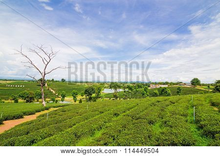 Terrace Of Green Tea Fileds