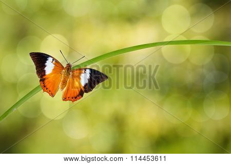 Tawny Rajah Butterfly Resting On Twig