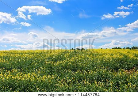 Canola Field, Yellow Rape Flowers, Rapeseed