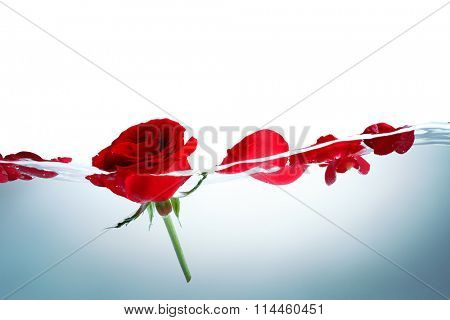 Red rose and rose petals in water