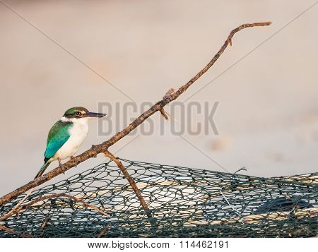 Collared Kingfisher on Fishnet Branch in Morning Light