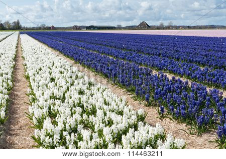Beautiful Dutch hyacinth field. Spring flowers, Netherlands (Holland)