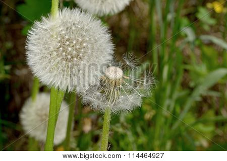 Dandelion Seed Heads As Blow-ball And Balding In The Wind.