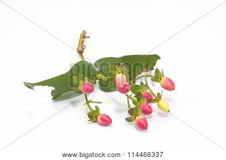 Hypericum Berry With Stem And Leaf