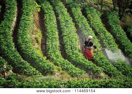 Thai Dara-ang Hill Tribe In Doi Angkhang Chiangmai Northern Of Thailand  Working In Strawberry Plant