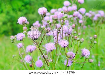 Cirsium Arvense (creeping Thistle) Flowers