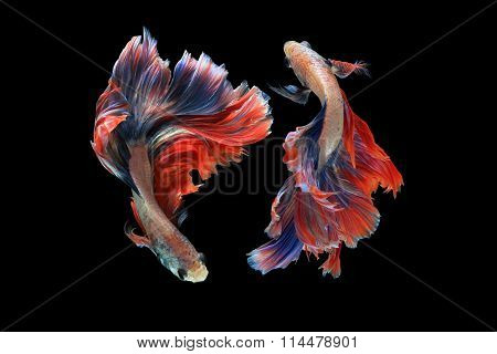 Dual Betta Fish Isolated On Black Background. ( Mascot Double Tail ) Ballerina Betta Fish