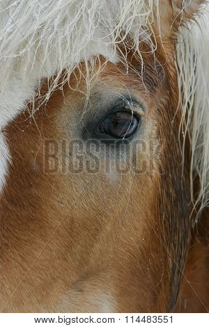 Lovely Brown Horse Eye In Winter Weather