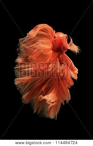 Orange Siamese Fighting Fish Isolated On Black Background.ballerina Betta Fish