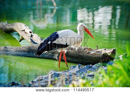 Stork On The Pond