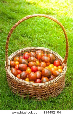 Tomatoes In Basket On The Green Grass