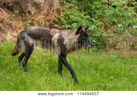 Black Grey Wolf (canis Lupus) Walks Right