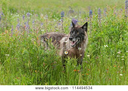 Black Grey Wolf (canis Lupus) Alert In Lupin Patch