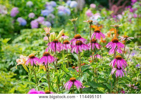 Echinacea in the summer garden.