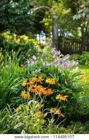 Black eyed susans in the forefront of flower beds in a summer garden.