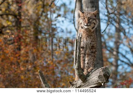 Bobcat (lynx Rufus) Stands Alert On Branch
