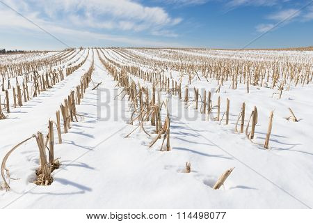 Snow Covered Corn Field in Winter