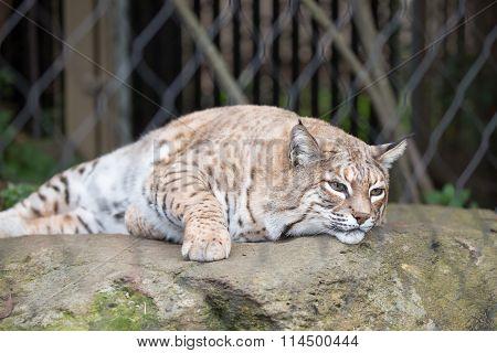 Bobcat - Lynx rufus