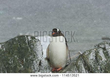 Gentoo Pengin On Rocky Ronge Island, Antarctica