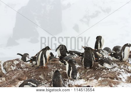 Gentoo Penguin Nesting Ground, Ronde Island, Antarctica