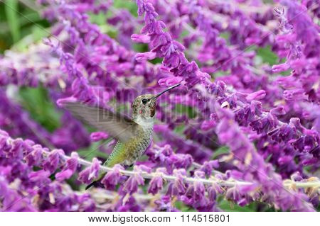 Anna's Hummingbird hovering in flight drinking nectar from purple flowers